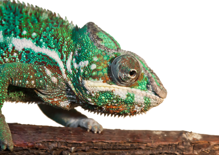 Beautiful close up photo of lizard Panther chameleon