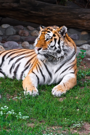 agressive: Wild and agressive Bengal tiger in zoo