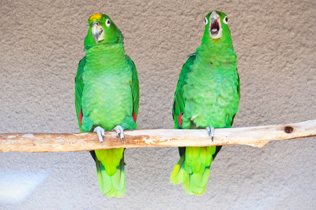 Cute green parrots sitting on wooden stick photo