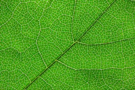 big green leaf photo