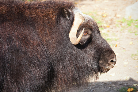 musk: Portrait of a musk ox or Ovibos moschatus in zoo