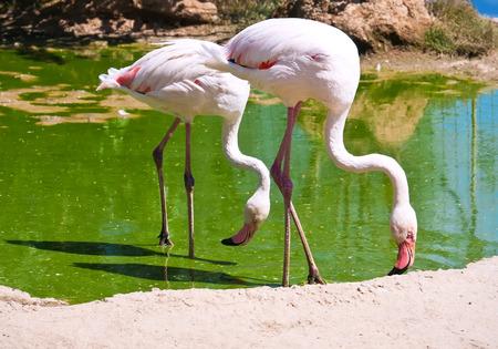 Beautiful American Flamingo staying in water, zoo lake