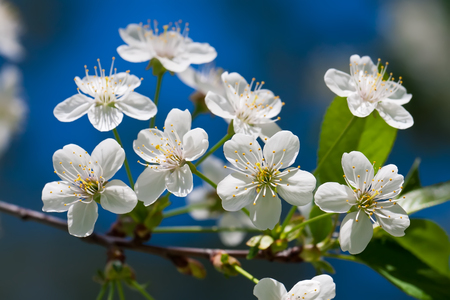 Beautiful spring blossom of apple cherry tree with white flowers Stock Photo