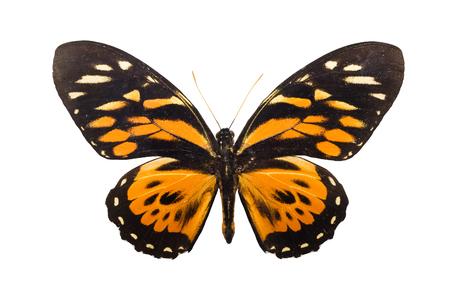 Beautiful tropical butterfly Tithorea harmonia isolated on white background