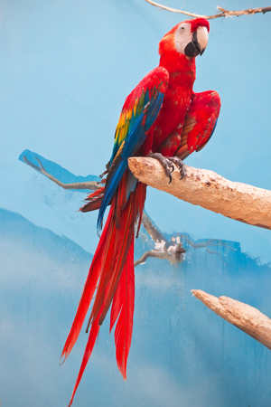 Beautiful photo of tropical parrot Ara macao or Scarlet Macaw
