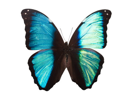 Beautiful tropical butterfly Deidamia Morpho isolated on white background Stock fotó
