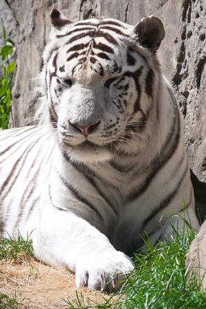 Beautiful close-up portrait of majestic White Tiger