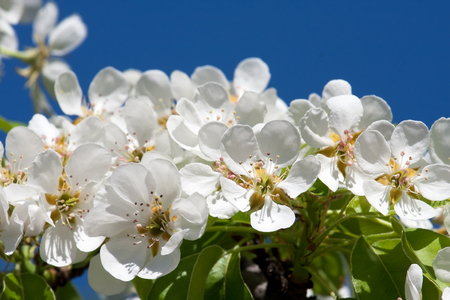 Beautiful spring blossom of apple cherry tree with white flowers Stock fotó