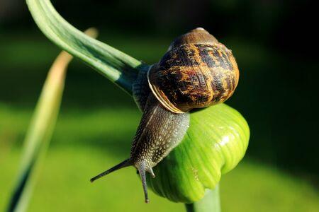 leek: Snail on leek bud