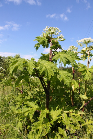 invasive: Magestic but dangerous, Giant Hogweed Stock Photo