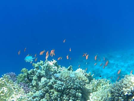 reef fish: coral reef fish
