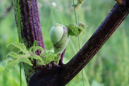 invasive plant: Giant Hogweed flower bud