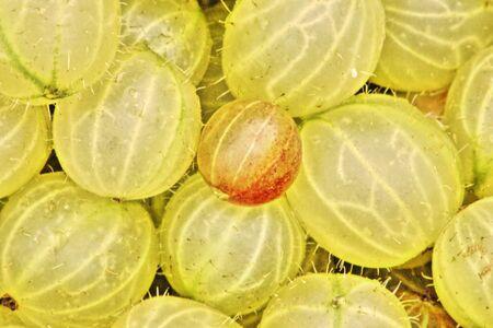 jamming: Freshly picked Gooseberries ready for jamming