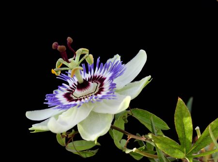 passion flower: Passion flower against black background. Stock Photo