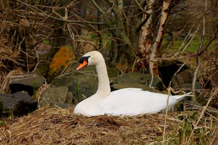 incubation: Swan on nest. Stock Photo
