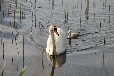 signet: Swan swimming with single signet following. Stock Photo