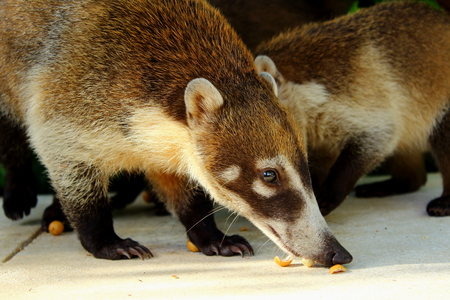 White Nosed Coatis eating nuts against a green background in Tulum,Mexico. Stock Photo