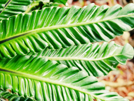 Cobra Bird's nest fern, auspicious tree, enhancing dignity and honor, uniquely beautiful curly wavy leaves Can be grown both in pots to decorate the house and planted by large trees in the garden add moisture and shady to the place easy to grow