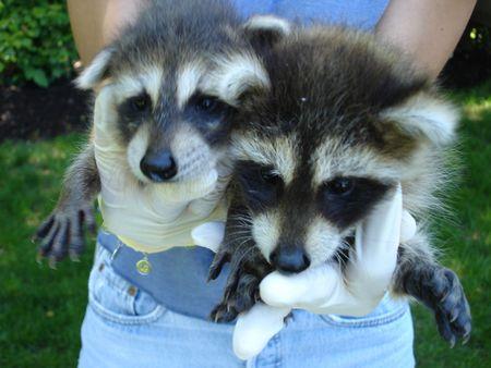 coons: Raccoon