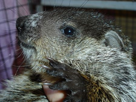 Woodchuck Stock Photo - 358182