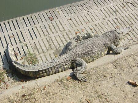 Crocodile photo