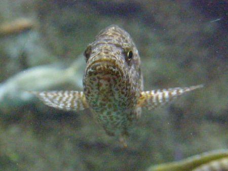 damselfish: Fish Stock Photo