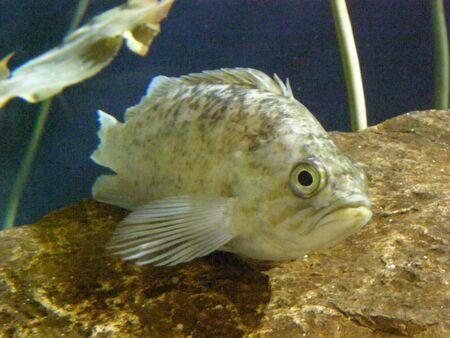 anthia: Fish Stock Photo