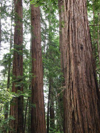 muir: Giant Redwood Sequoia Trees at Muir Woods in California
