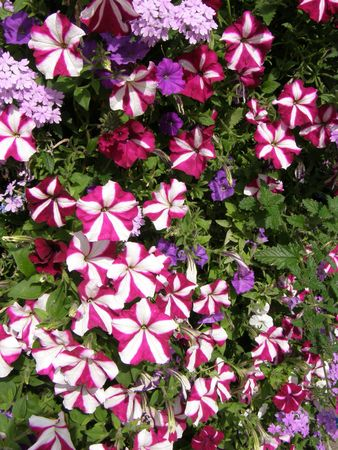 Petunia Flowers Stock Photo - 5760865