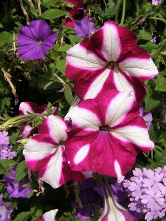 Petunia Flowers Stock Photo - 5762989