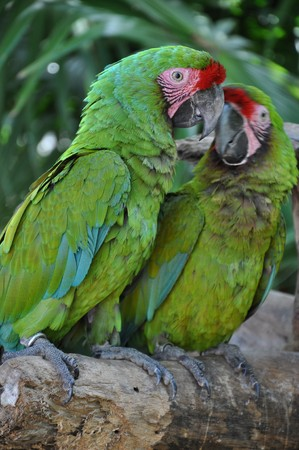 loros verdes: Loros verdes  Foto de archivo