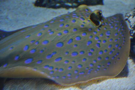 taeniura: Spotted Stingray