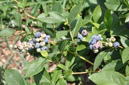 Blueberry Plant photo