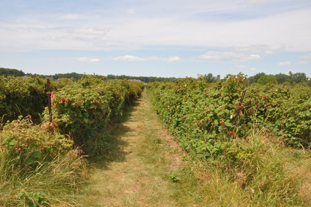 barrie: Raspberry Fields in Barrie (Ontario), Canada Stock Photo