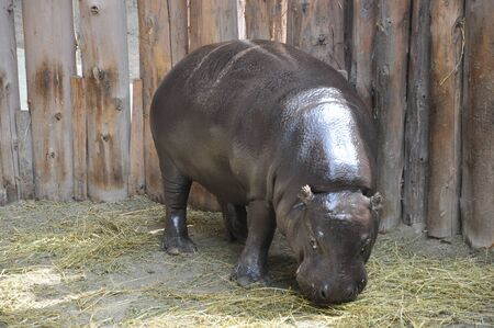 pygmy: Pygmy Hippopotamus Stock Photo