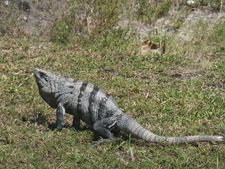 lizard in field: Iguana