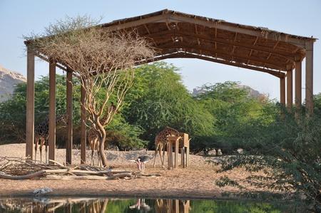 Giraffe Stock Photo - 12965205