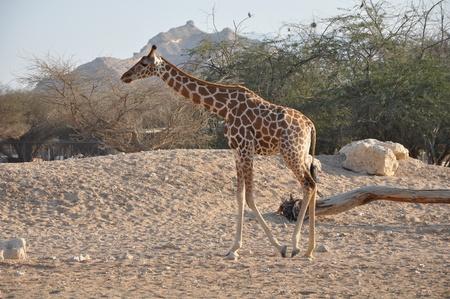 Giraffe Stock Photo - 12965206