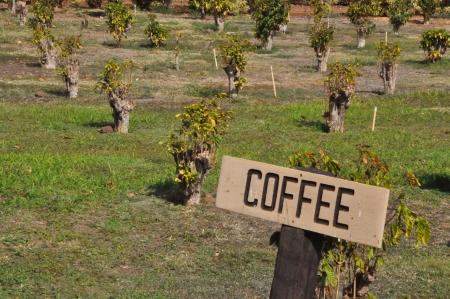 Coffee Plantation in Maui, Hawaii Standard-Bild