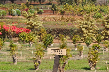 Coffee Plantation in Maui, Hawaii photo