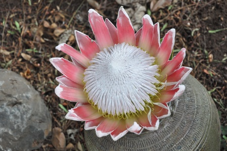 protea flower: King Protea Flower