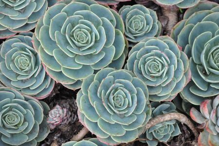 herb garden: Hens and Chicks or House leek Succulent