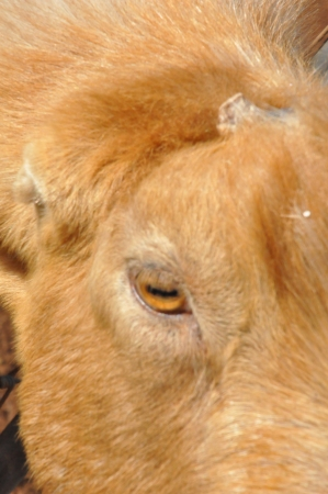 Goat on a Dairy Farm