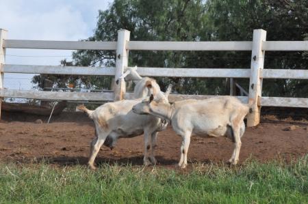Goat on a Dairy Farm photo