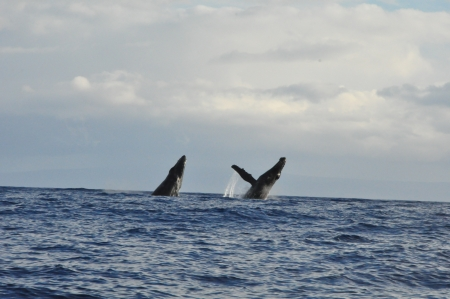 Whale Watching in Maui, Hawaii photo
