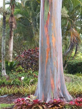 bark rain tree: Rainbow Eucalyptus