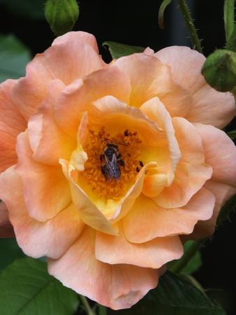 Bee in a Flower Фото со стока - 23067795