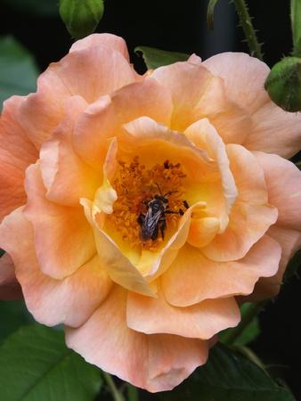 Bee in a Flower Фото со стока - 23067797