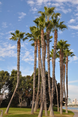 Palm Trees at Coronado Island in San Diego, California photo