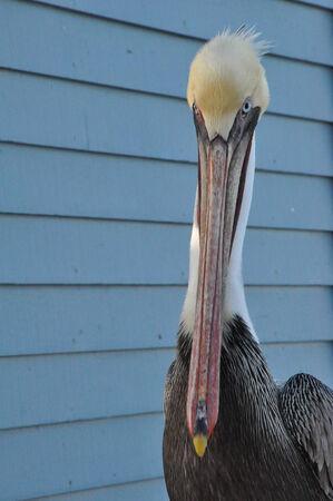 Pelican in Oceanside, California